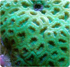 Favia Brain Coral Green Moon Brain Coral Favia Spp