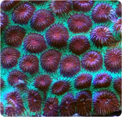 Favia Brain Coral Red Eye Moon Brain Coral Favia Spp