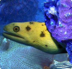 yellow canary moray eel golden moray eel gymnothorax miliaris