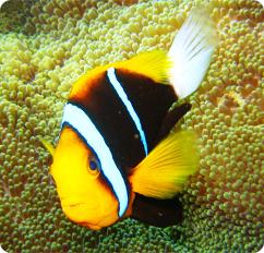Clarkii Clownfish Aggressive