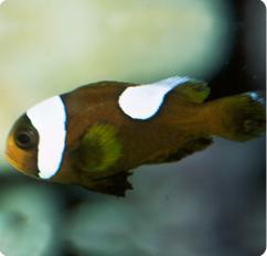 Brown saddleback anemonefish amphiprion polymnus for Clown fish scientific name