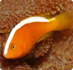 Orange skunk clownfish captive bred amphiprion sandaracinos for Clown fish scientific name