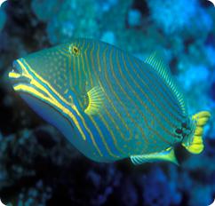 undulate triggerfish orangelined triggerfish balistapus undulatus
