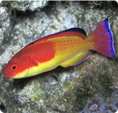 Hooded Fairy Wrasse Cirrhilabrus Bathyphilus