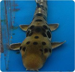 epaulette shark tank - photo #14
