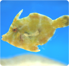 Aiptasia Eating Filefish Matted Filefish Acreichthys