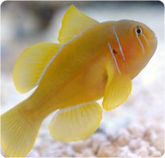 Citron clown goby citrin goby gobiodon citrinus for Clown fish scientific name