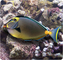 Naso Tang, Orangespine Unicornfish - Naso lituratus