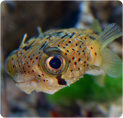 Porcupine pufferfish porcupinefish diodon holocanthus for Puffer fish diet
