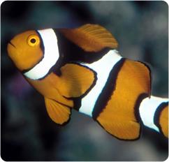 True percula clownfish clown anenomefish amphiprion percula for Clown fish scientific name