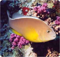 Skunk anemonefish skunk clownfish amphiprion akallopisos for Clown fish scientific name