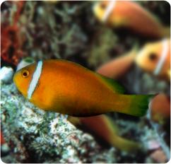 Maldives anemonefish amphiprion nigripes for Clown fish scientific name