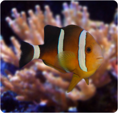 Three band anemonefish amphiprion tricinctus for Clown fish scientific name
