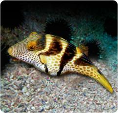 Valentini toby pufferfish saddle valentini pufferfish for Puffer fish diet