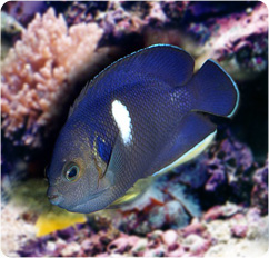 Keyhole angelfish tibicen angelfish centropyge tibicen for Fish compatible with angelfish