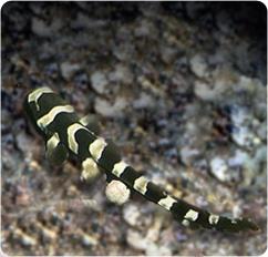 Banded Cat Shark - Chiloscyllium punctatum