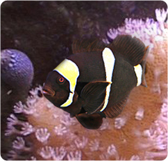Maroon Clownfish | Gold Striped Maroon Clownfish Maroon Anemonefish Premnas Biaculeatus