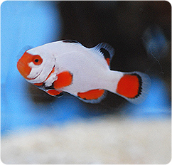 Platinum clownfish captive bred amphiprion percula for Clown fish scientific name