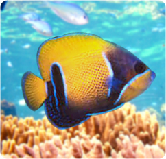 Majestic angelfish blue girdled angelfish pomacanthus for Fish compatible with angelfish