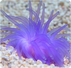 Condy Anemone - Purple, Atlantic Purple Anemone ...