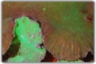 Green Flower Leather Coral