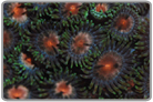 Assorted Color Zoanthids
