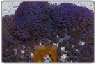 Purple Carpet Anemone