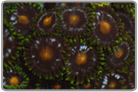 Green Fringe Assorted Colored Zoanthids