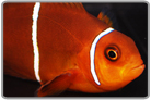 White Stripe Maroon Clownfish- Captive Bred