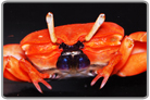 Red Burrowing Crab