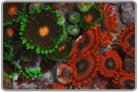 Super Assorted Color Zoanthids Mix