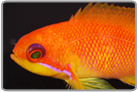 Lyretail Anthias - Female