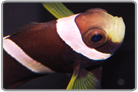 Wide Band Anemonefish - Captive Bred