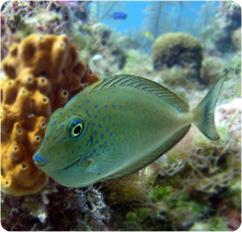 Vlamingii Tang Vlamings Unicornfish Naso Vlamingii